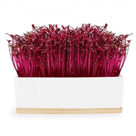 UrbanGreens Mini Microgreens Grow Kit - Ruby Sprouts