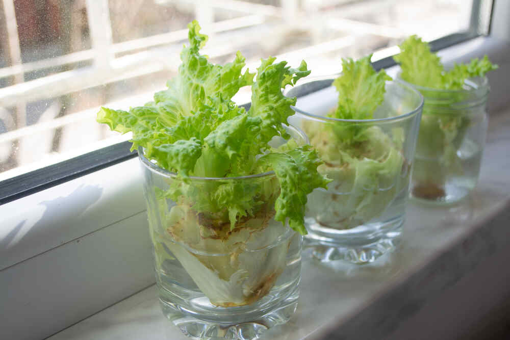 how to regrow vegetable and herb scraps in water