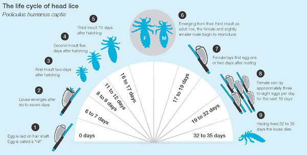 head lice treatment natural